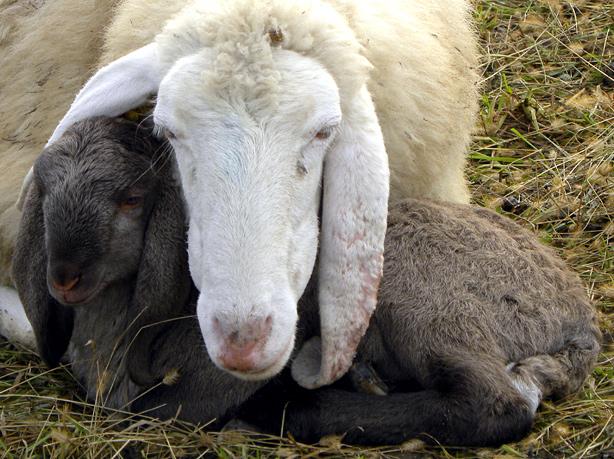 pecora con agnellino
