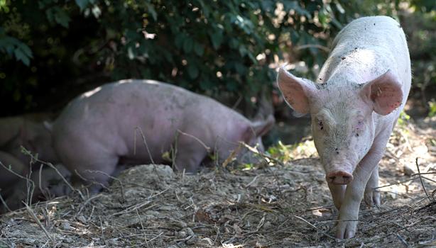 adotta un maiale — la corte del lupo