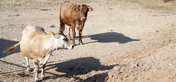 vacca tigrata sarda