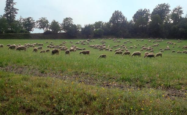 pecore la raia