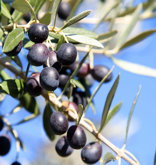 olivo scandriglia