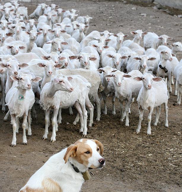 gregge e cucciolo pastore