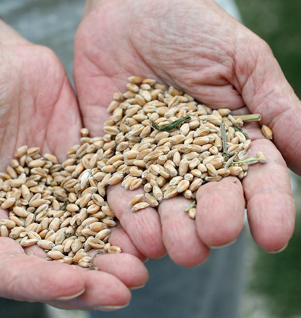 grano antico biodynamico