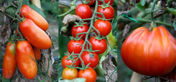 pomodori biodynamici