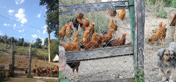 galline all'aperto