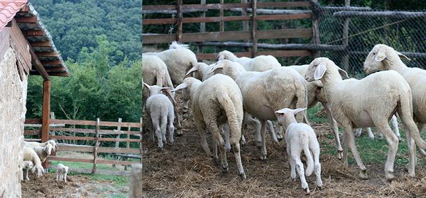pecore bergamasche