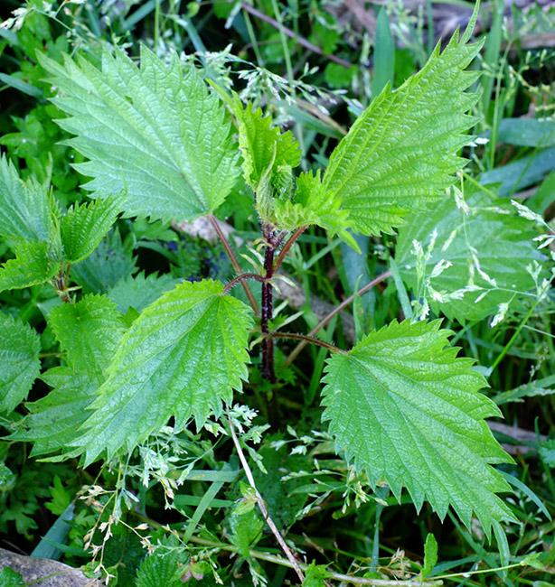 piante spontanee raccolta