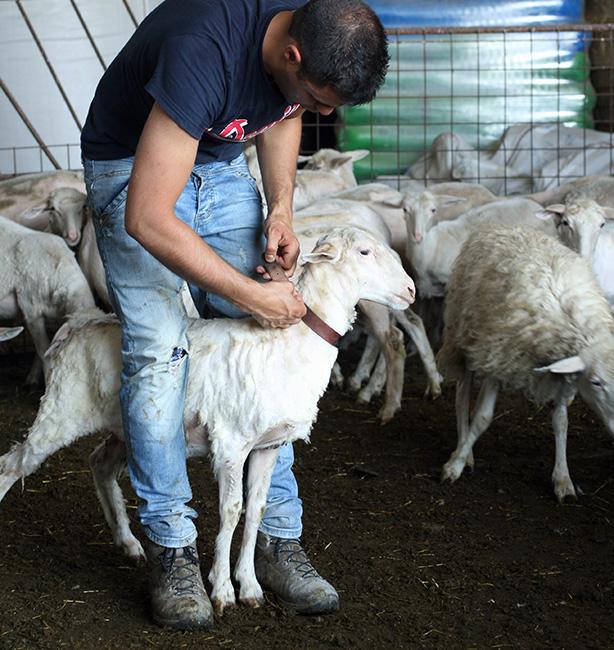tosatura delle pecore
