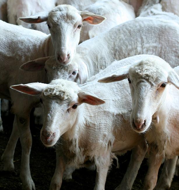 tosatura pecore sardegna