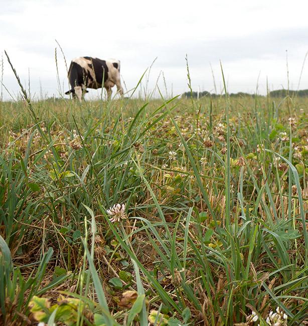 latte da vacche grass feed