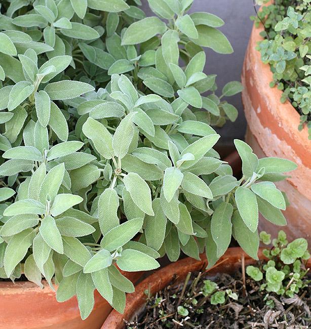 salvia coltivazione in vaso