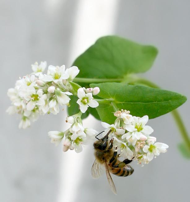 grano saraceno fiori pronubi