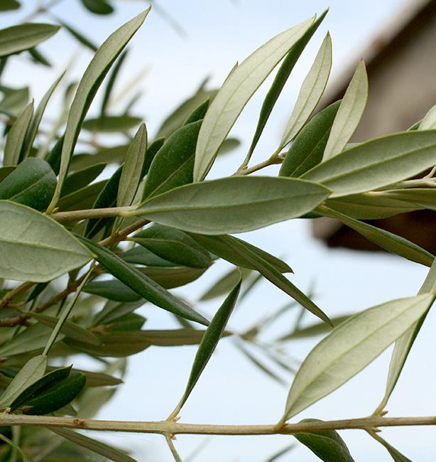 olivo itrana in vaso