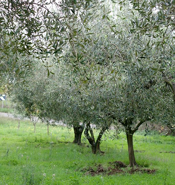 olivi Il Laborante