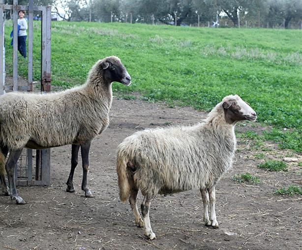pecore felici