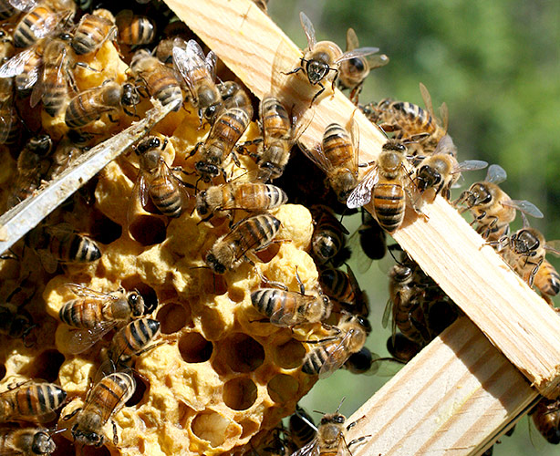 apicoltura Roma
