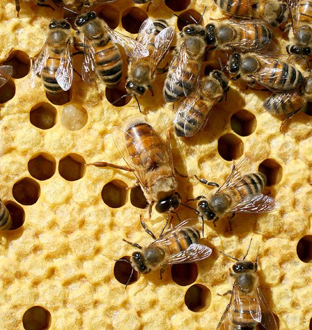vita delle api