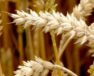 grano e celiachia