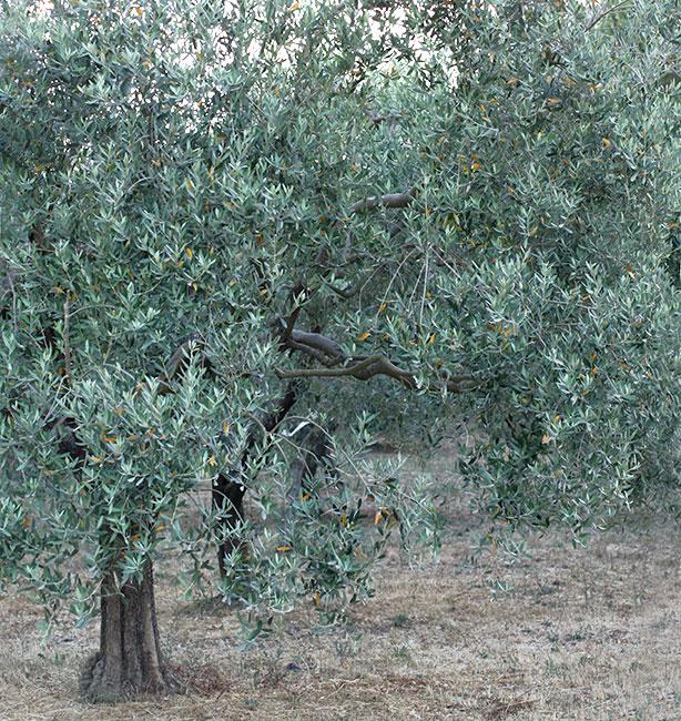 olive oil tree italy