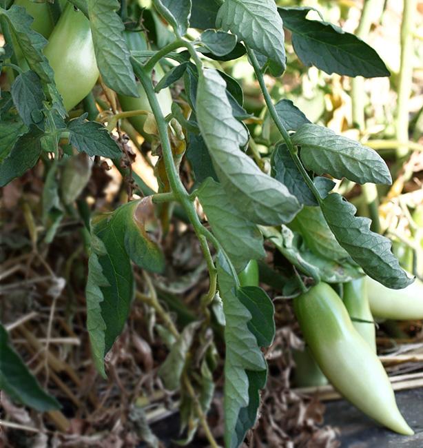 pomodori biodinamici
