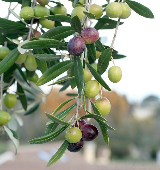 olivo itrana