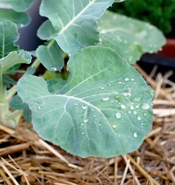 broccolo siciliano