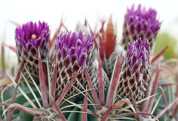ferocactus recurvus in fiore